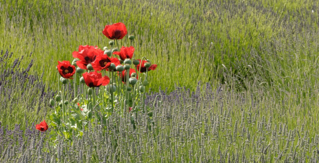 poppies in lavender-1